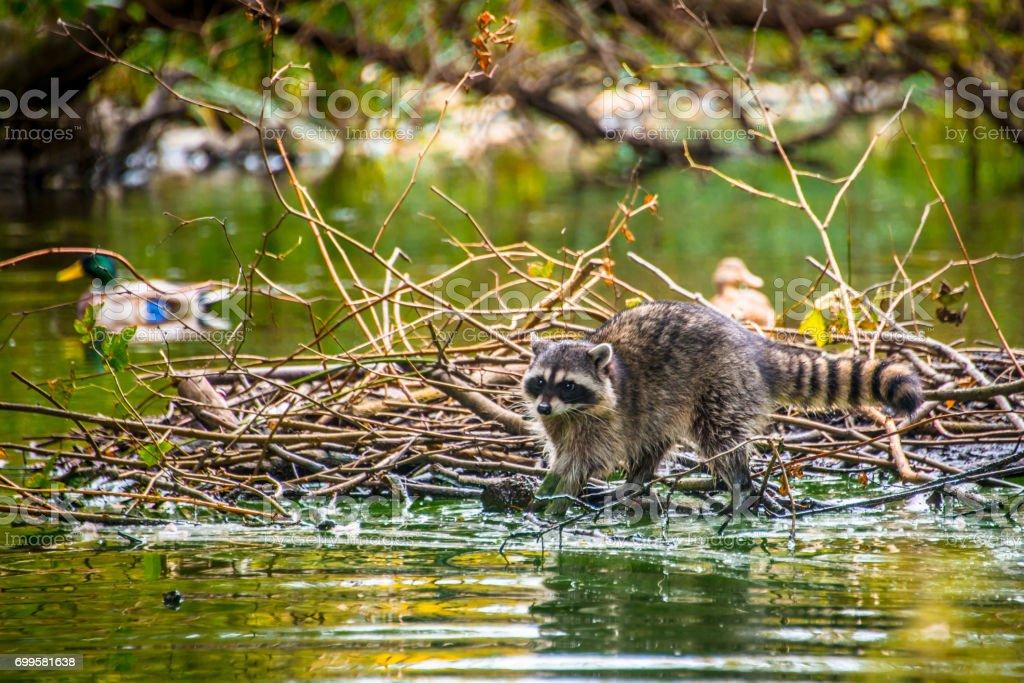 Raccoon on the Beaver Dam stock photo