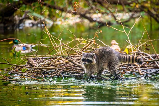Raton laveur sur le barrage de castors - Photo