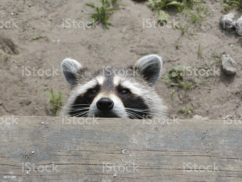 Raccoon Peeking royalty-free stock photo