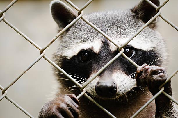 raton laveur - cage animal nuit photos et images de collection