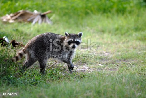 A wild raccoon scavenging for food on a summer evening.