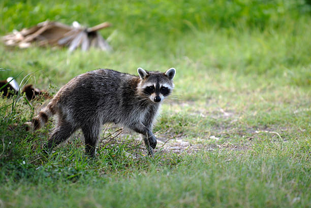 raccoon - aas eten stockfoto's en -beelden