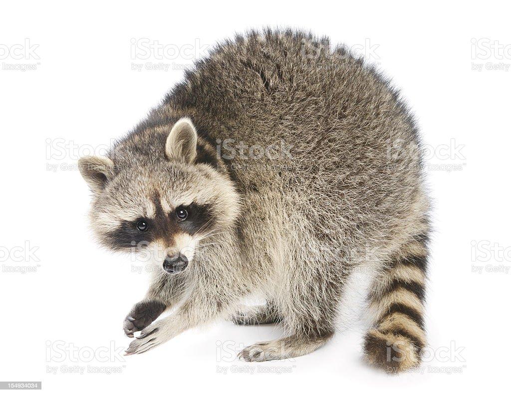 Raccoon – Foto