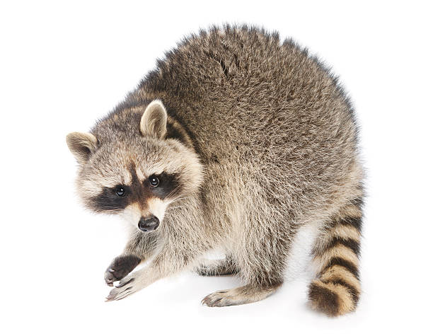 raccoon - mammal stock photos and pictures