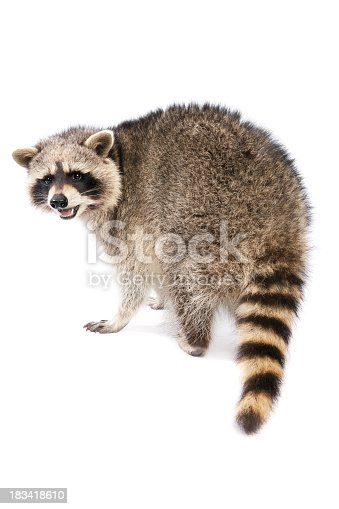 Raccoon isolated on white