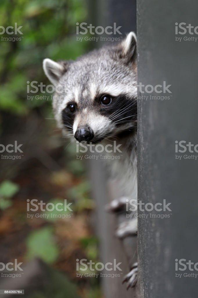 Raccoon stock photo