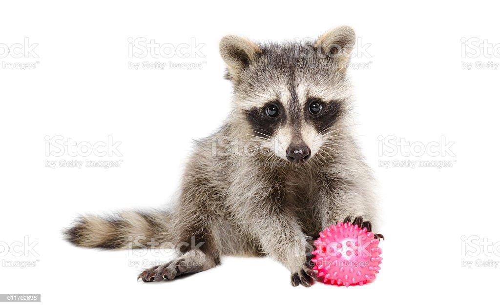 Raccoon playing toy ball stock photo