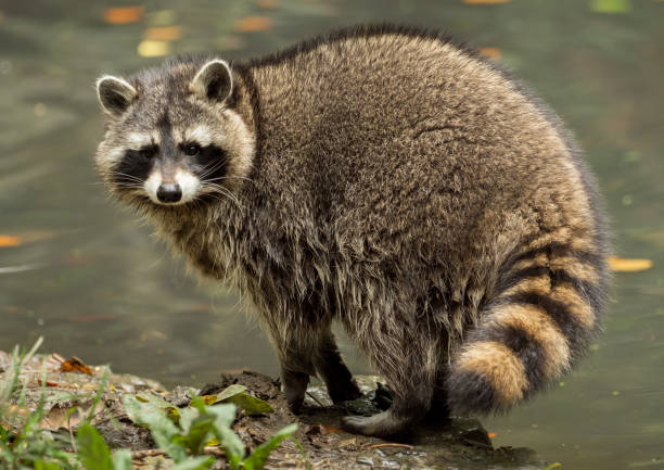 A raccoon plays outside on the water stock photo