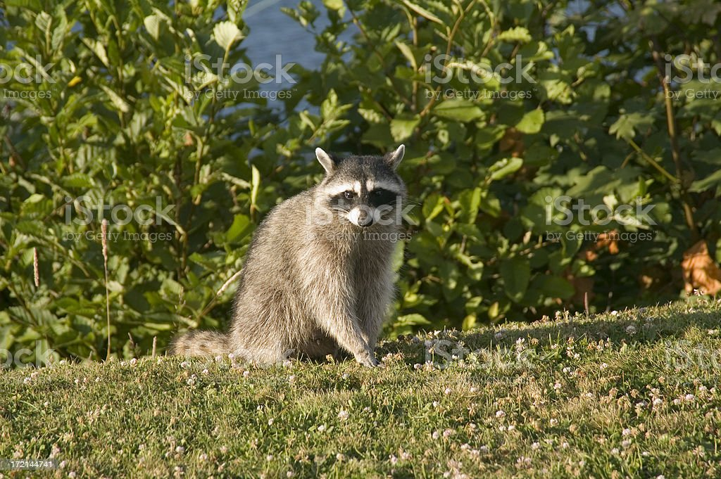 Raccoon portrait royalty-free stock photo