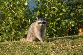 Adult raccoon in a field