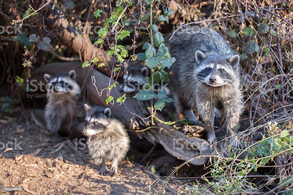 Raccoon, Procyon lotor (harvest) family stock photo