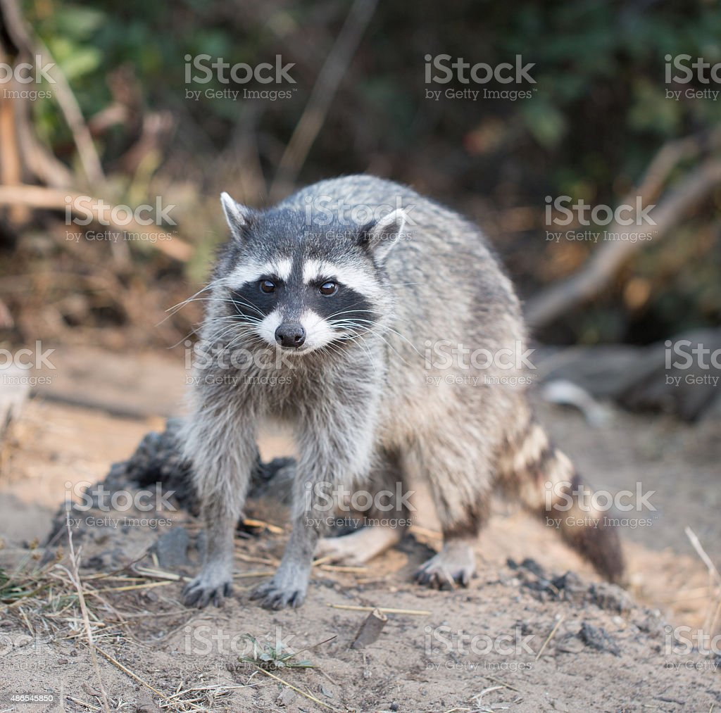 Raccoon, Procyon lotor (harvest) stock photo