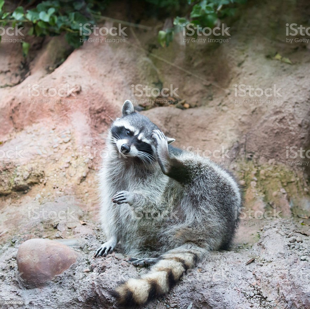 Raccoon - Procyon lotor (harvest) stock photo