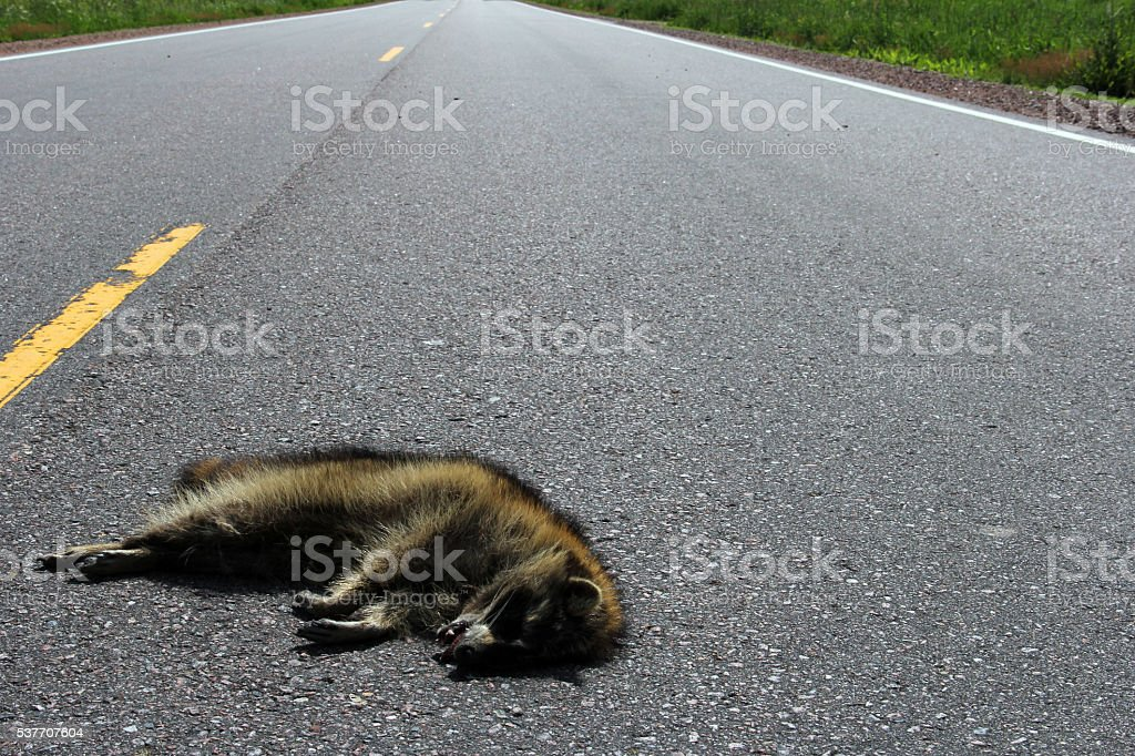 Raccoon roadkill on a rural highway stock photo