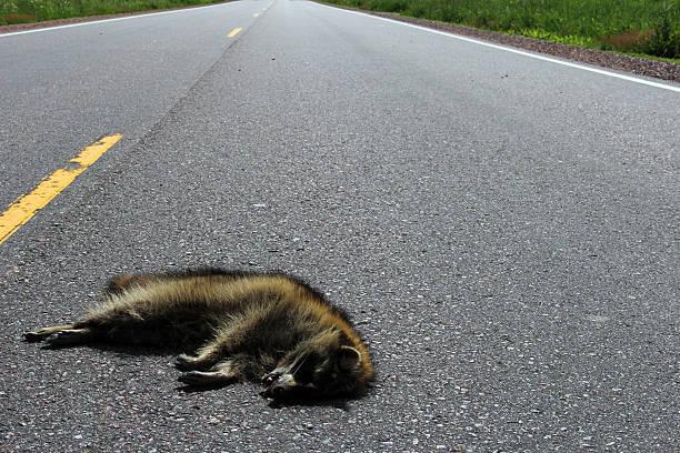 Guaxinim roadkill em uma estrada rural - foto de acervo