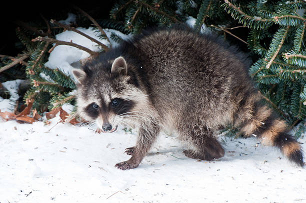 Raccoon searching for food in winter