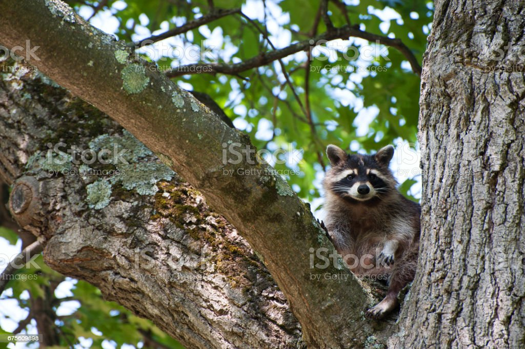 Raccoon sitting in Tree royalty-free stock photo