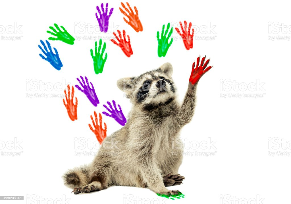 Raccoon sitting  on the background of handprints stock photo