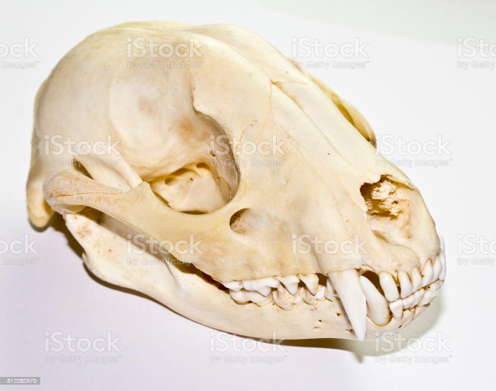 Fotografía de Mapache Cráneo y más banco de imágenes de Anatomía ...