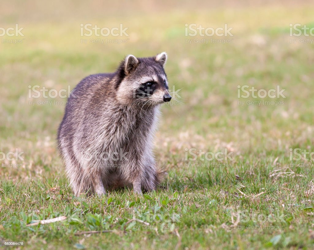 Raccoon standing on green grass in middle of field in county park in Florida foto de stock royalty-free