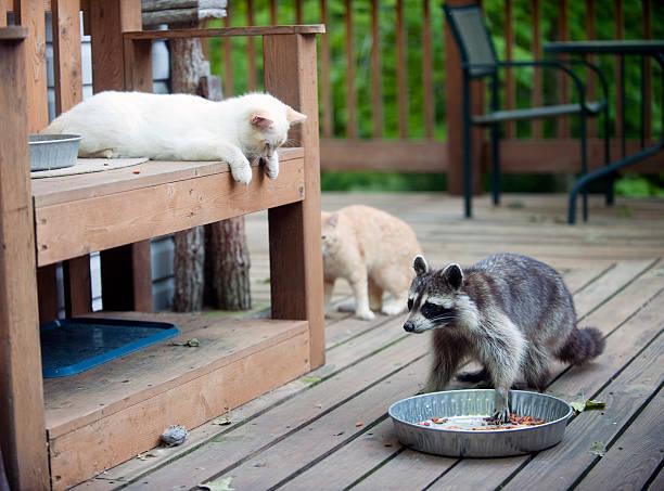 Raton laveur Dérober Nourriture pour chat - Photo