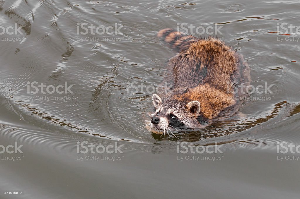 Raccoon (Procyon lotor) Swims for Shore stock photo