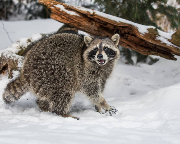 Raccoon voicing his displeasure at being photographed stock photo