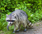 Cute raccoon walking along a path at Stanley Park in Vancouver BC Canada