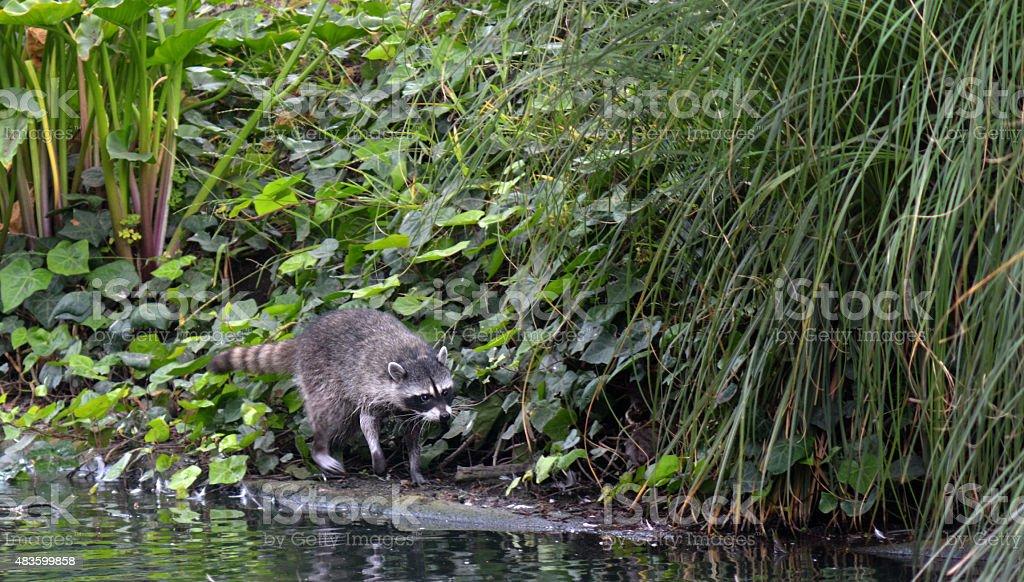 Raccoon walks along a pond stock photo