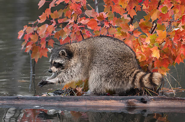 Raccoon (Procyon lotor) Washes Paws stock photo