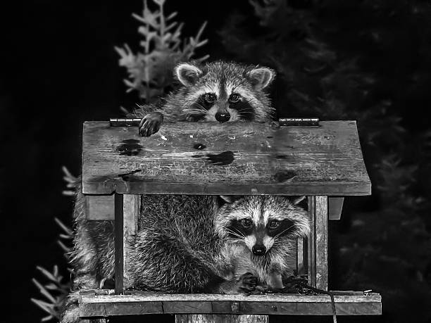 raccoons couple stock photo