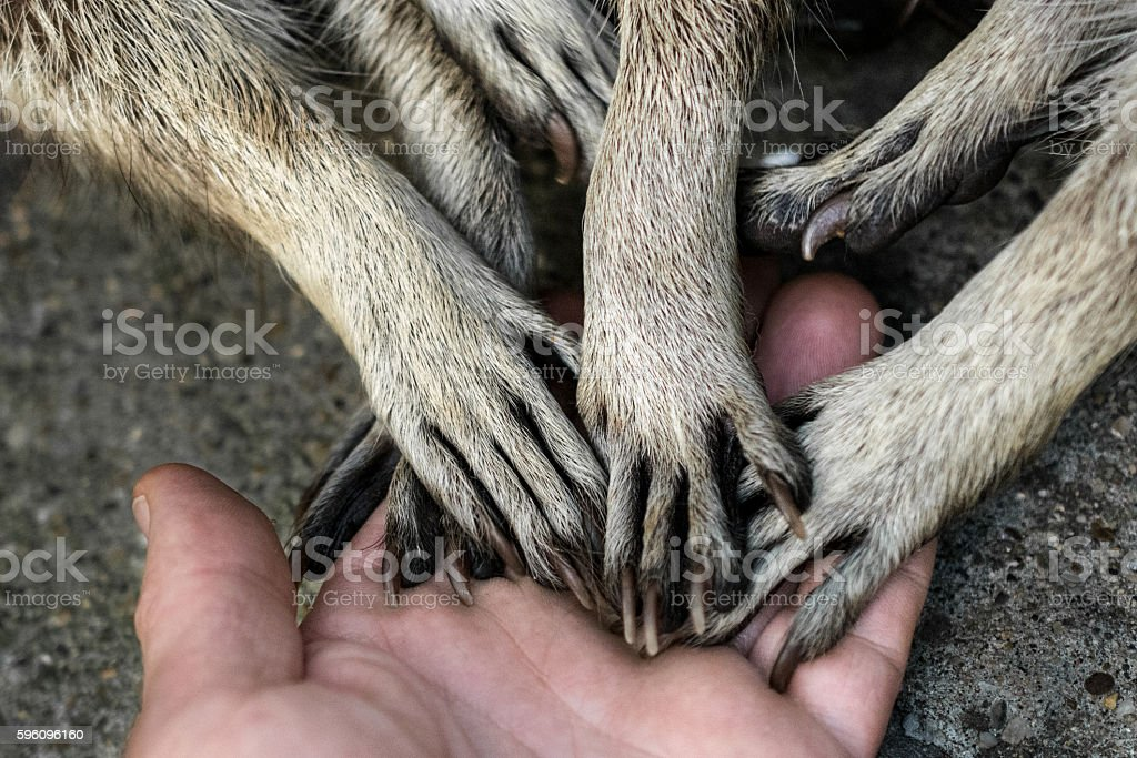 Raccoons hands on human palm royalty-free stock photo