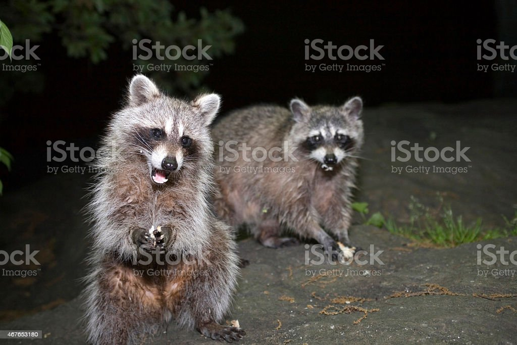 Raccoons in Central Park stock photo