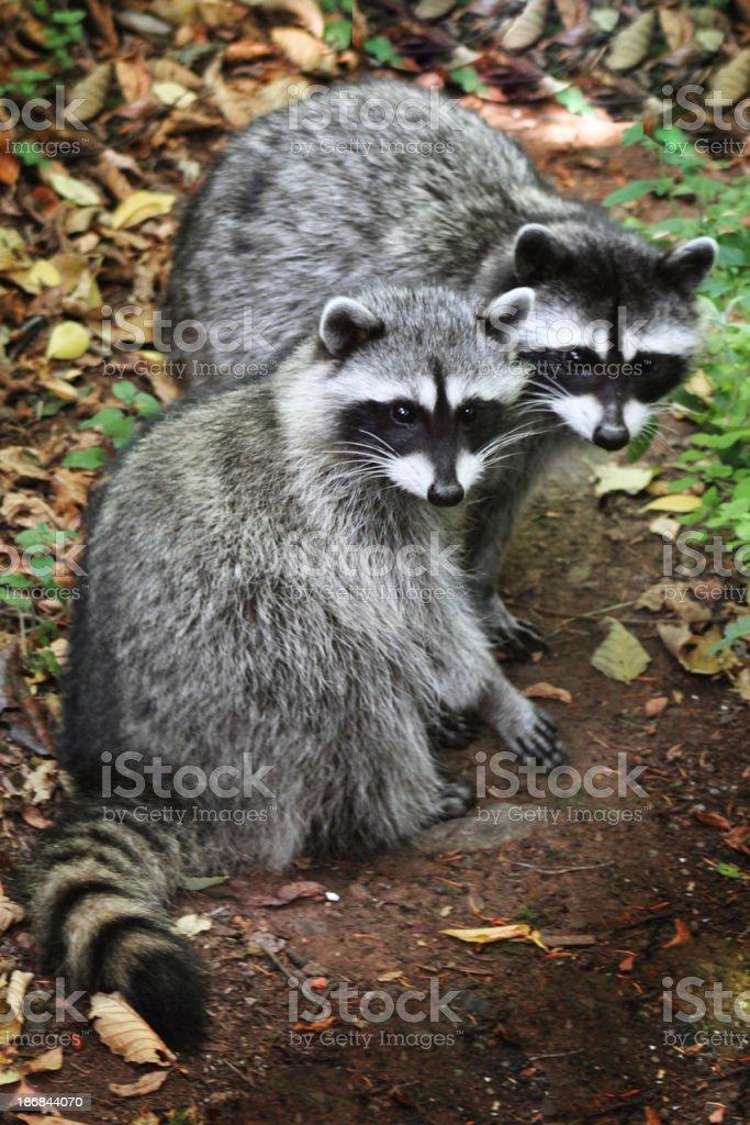 Raccoons royalty-free stock photo