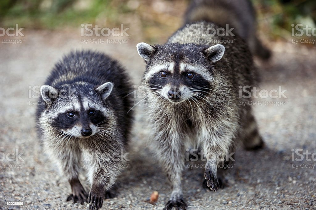 Raccoons stock photo