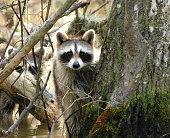 Raccoon with another hiding in the bayou