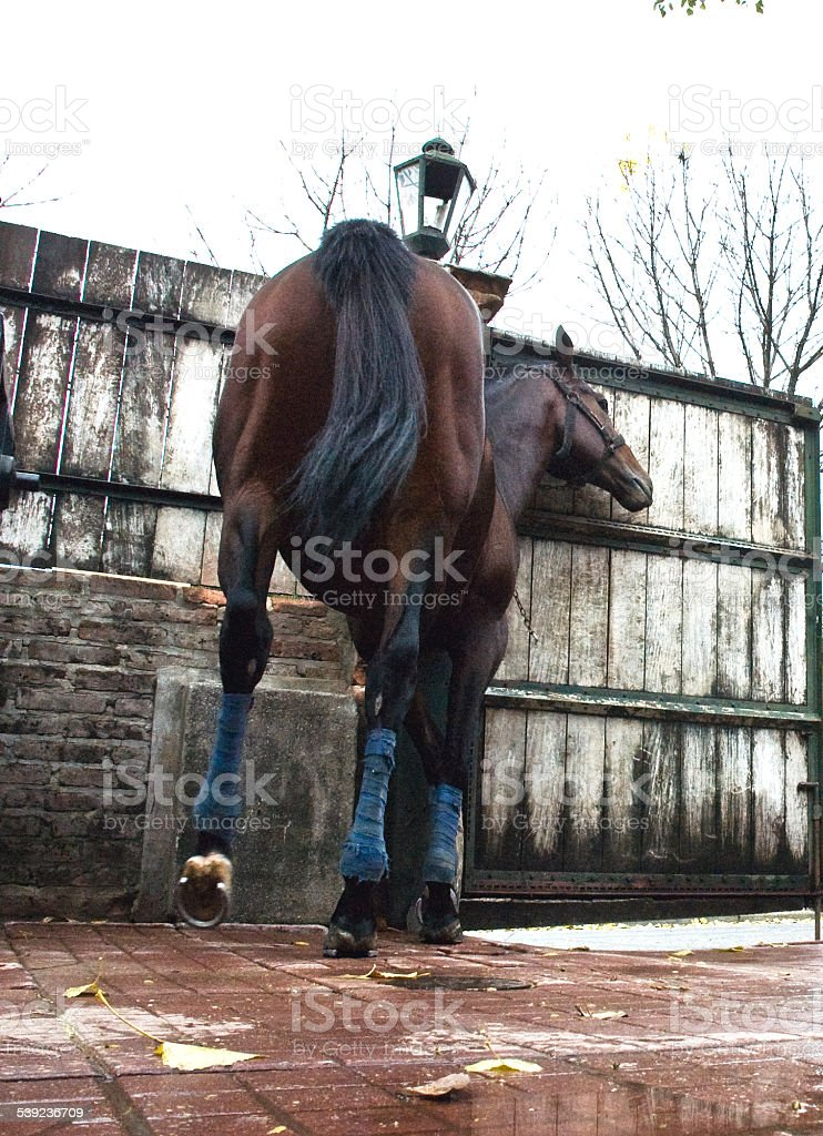 race horse in the barn royalty-free stock photo
