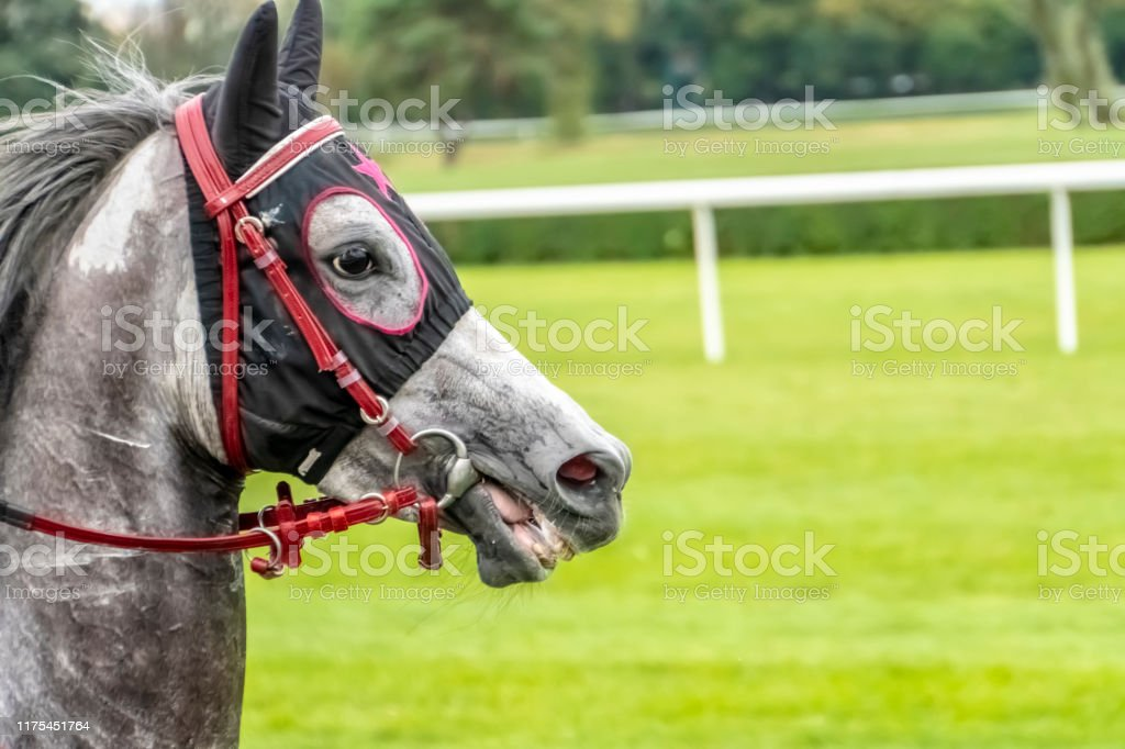 Race Horse With Checkered Blinkers Portrait Of A Sports Grey Horse Riding On A Horse Thoroughbred Horse Beautiful Horse Stock Photo Download Image Now Istock