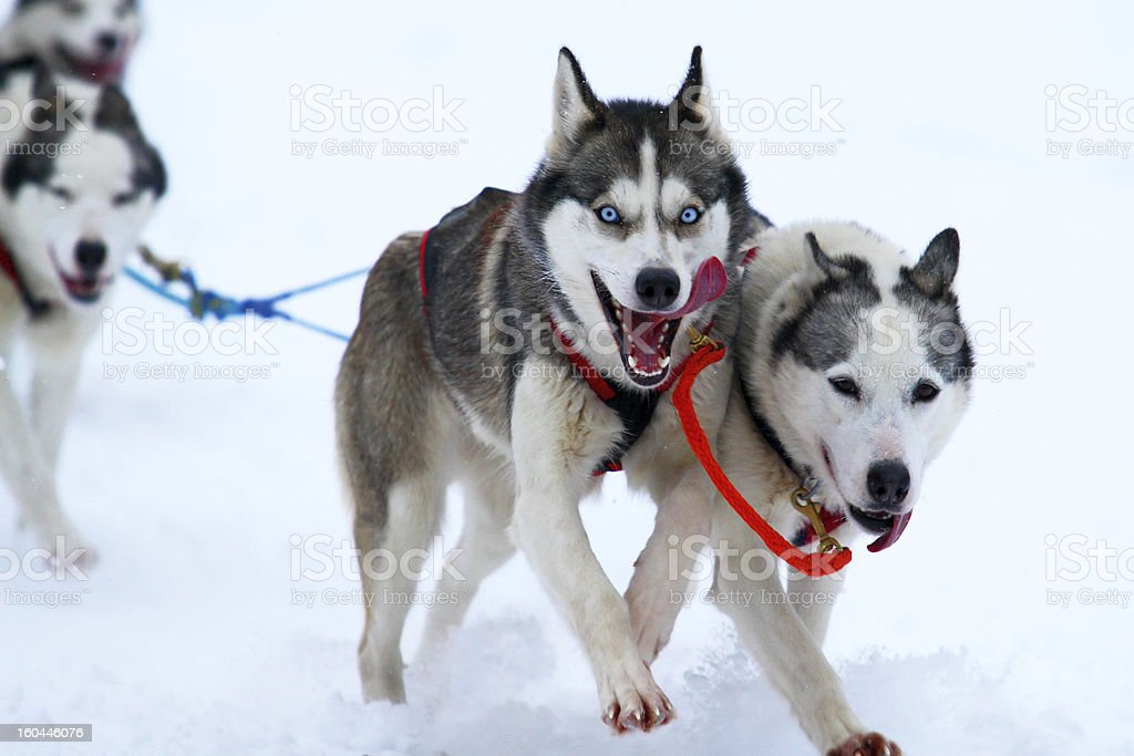 Race of draft dogs royalty-free stock photo