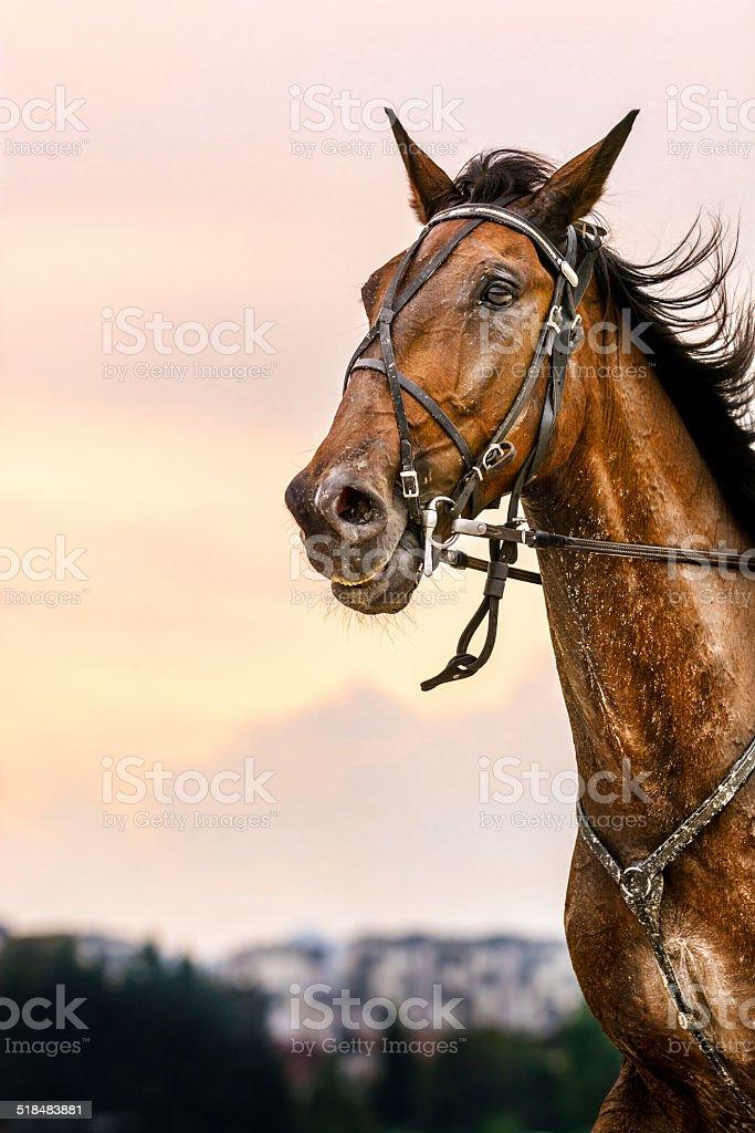 Racehorse at twilight stock photo