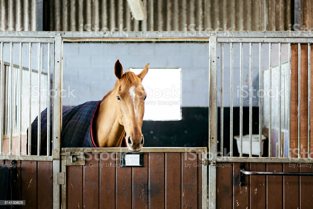 Racehorse in a stable A race horses leans his heads over his stable stall early in the morning. Anthony Honeyball Racing, Potwell Farm Stables, Mosterton, Dorset Animal Stock Photo