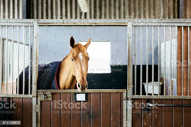 Racehorse In A Stable Stock Photo - Download Image Now