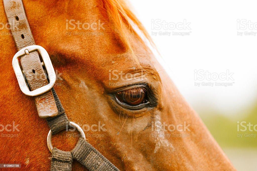 Racehorse portrait. stock photo