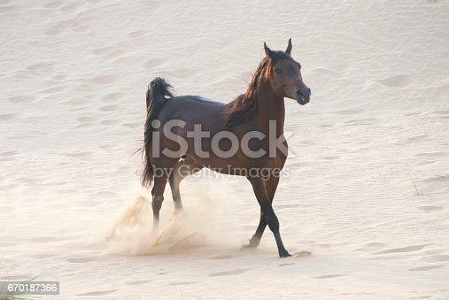 Racing Arabian stallion in the desert