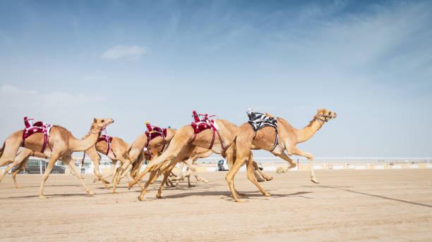 Racing Camels Running in Camel Racing Training with Robot Jockeys Qatar stock photo