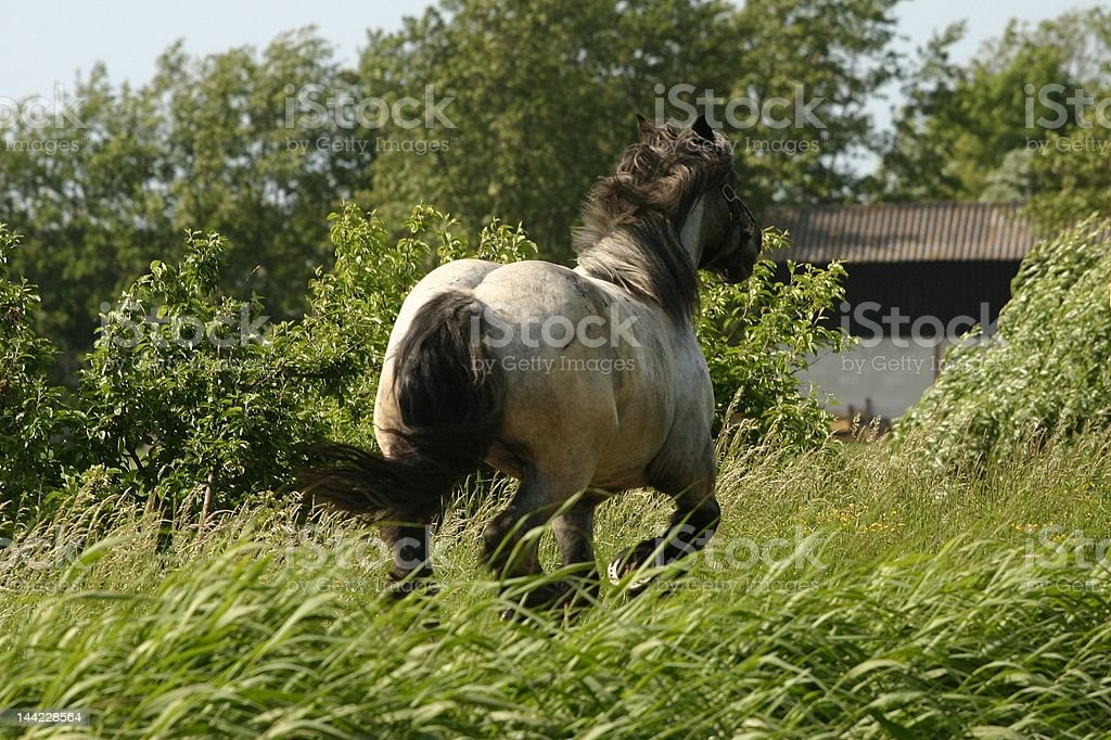 Racing draught horse royalty-free stock photo