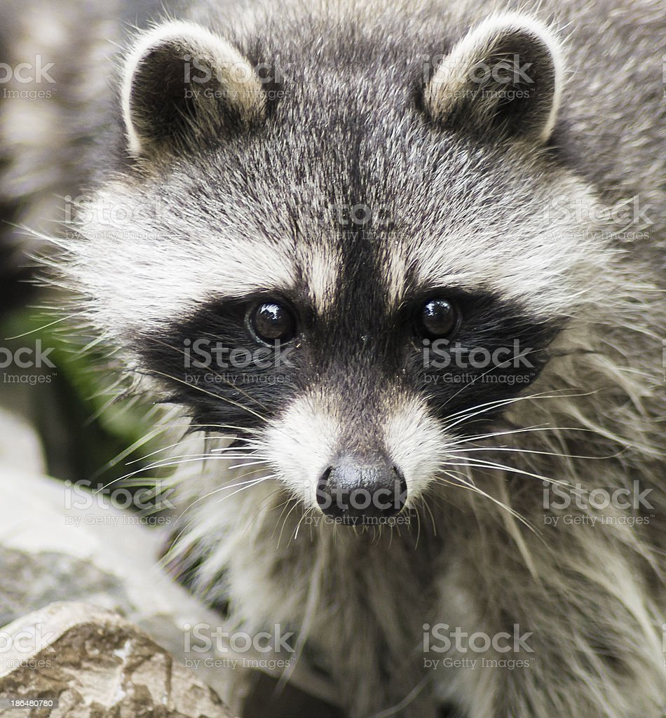 Racoon Close-Up stock photo