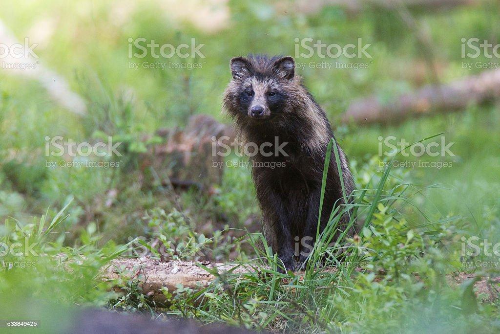 Racoon dog stock photo