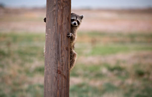 Racoon Hiding Telephone Pole stock photo