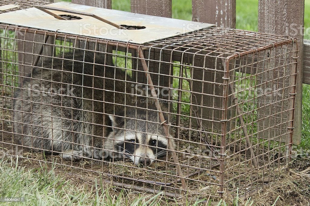 Racoon In Live Trap stock photo